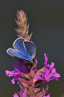 Argus bleu - Polyommatus icarus - Common blue