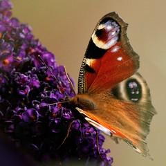 Peacock Butterfly 04 (WestLothian) Tags: nikon d300 nikkor 300mmf28gvr nikkor300mm28 peacock butterfly