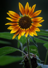 Little Sunflower (Rainfire Photography) Tags: sunflower nature flower beautiful plant rosetta mcclain nikon summer d7200
