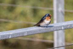 Welcome Swallow (Arcus Cloud) Tags: bird birds birding birdphotography birdspotting birdwatching australia australianwildlife australianbirds australian wildlife wildlifephotography wildlifeandnature wildlifephoto wild nsw nature naturalworld naturewatcher natural