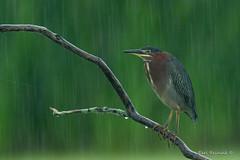 Why does it always rain on me? (Earl Reinink) Tags: bird animal water heron greenheron outdoors nature earl reinink earlreinink ozrdiazdza