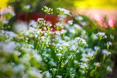September (moaan) Tags: kobe hyogo japan jp flower flowering flora littleflowers color green white outdoor garden flowergarden focusonforeground selectivefocus bokeh swirlingbokeh bokehphotography canonphotography canon canoneos5dsr zeissotus1455ze otus1455 utata 2018