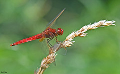 la LibelLa libellule écarlate ou Crocothémis écarlate (Crocothemis erythraea) (jean-lucfoucret) Tags: rouge nikkor 105mm nikkor105mm insecte insecta nikon d500 nikon500 odonate anisoptère mâle animilia nature odonata libellule dragonfly nikonphoto libellulidae anisoptera écarlate crocothemis erythraea