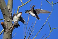 Tree Swallow - Hirondelle bicolore - Tachycineta bicolor (D72_8082-1PE-20180621) (Michel Sansfacon) Tags: hirondellebicolore treeswallow tachycinetabicolor nikond7200 sigma150600mmsports parcnationaldesîlesdeboucherville parcsquébec faune