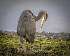Seen my other leg.......? (Paul Rioux) Tags: nature avian shore bird great blue heron standing pose seaside seashore prioux wading seaweed kelp beach outdoor