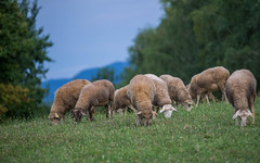 sheep (01) (Vlado Ferenčić) Tags: sheep animals animalplanet zagorje vladoferencic vladimirferencic hrvatska hrvatskozagorje croatia nikond600 nikkor8020028
