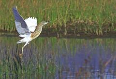 Héron crabier chevelu . (PACHA23) Tags: lagunedepadul fauna wildlife faune nature viesauvage zancuda wadingbird échassier espagne andalousie héron crabierchevelu