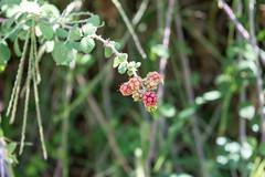 Ψίνθος (Psinthos.Net) Tags: ψίνθοσ psinthos nature countryside september autumn σεπτέμβρησ σεπτέμβριοσ φθινόπωρο εξοχή φύση πρωί πρωίφθινοπώρου φθινοπωρινόπρωί morning φώσ σκιά light shadow sunlight φώσήλιου φώσηλίου κοιλάδα κοιλάδαψίνθου κοιλάδαψίνθοσ valley psinthosvalley leaves φύλλα brambles βάτοι βάτα βάτοσ bramble wildfruits fruits φρούτα άγριαφρούτα