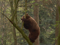 Bear in Tree on a misty morning (mensinkr) Tags: wood woud forest bos animal dieren tree bomen boom bear beer brown grizzly grass zoo dierentuin berenbos ouwehand rhenen netherlands mammals zoogdieren wildlife wild