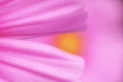 Defining Beauty (haberlea) Tags: garden mygarden pink petals cosmos macro macromonday quote definingbeauty