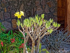 Pachypodium rossulatum var gracilius. Relais de la Reine Lodge, Madagascar (Travel to Eat) Tags: yellow flower tree succulent gracilus pachypodium