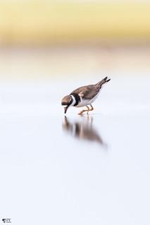 ''Miroir, miroir!'' Pluvier semipalmé-Semipalmated plover