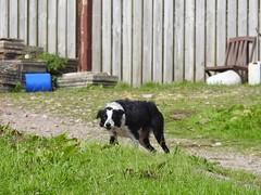 Dog, Troed-y-Rhiw, Upper Cwmbran 31 August 2018 (Cold War Warrior) Tags: dog troedyrhiw cwmbran blaenbran