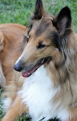 Bella.. (catherine4077) Tags: dog bella outside outdoors collie frontroyal virginia pet