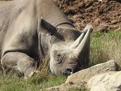 I'm just going to blend in with the rocks. (Simply Sharon !) Tags: rhino blackrhino rhinoceros savetherhino animal yorkshirewildlifepark