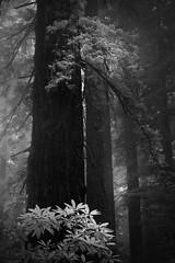 Among Giants (nlwirth) Tags: nlwirth yup redwood redwoods tree trees infrared ir leaves light mist fog blackandwhite monochrome humboldtcounty california
