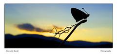 Controluce (guitarmargy) Tags: controluce silhouette macro colors closeup canon grandangolo sunset tramonto sera monti fiori marcellobardi photographer bugshot nature animal artropodi lepidotteri butterflies farfalla licenidae entomologo insetti