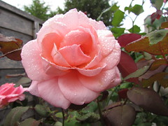 Pastel Pink Rose... (Marie on Flickr) Tags: rose pastel pink water droplets garden