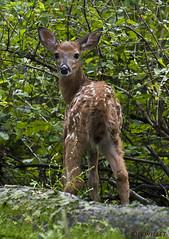 091218157340asmweb (ecwillet) Tags: deer fawn wildwoodparkharrisburgpa nikon ecwillet ericwillet nikond500 nikon200500f56
