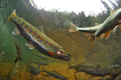 Trout Pool (Fish as art) Tags: salmonids salvelinus river canada trout truite travel expedition fishing flyfisherman underwaterphotographypaulvecsei paulvecseiphotography yukonfishes alaska nikon