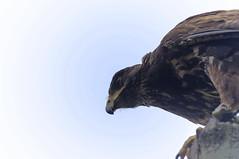 UNA POIANA    ----    A BUZZARD (cune1) Tags: uccelli birds animali animals natura nature alberi trees cieli sky italia parcodelticino