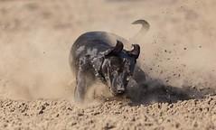 Pies Dolar (Kuba Petrymusz) Tags: dog pies dolar speed prędkość kurz piasek psiak zwierze natura zabawa oszołom zabawny szybki unikat obraz tapeta super