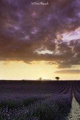 Sunset in Valensole (freuddy) Tags: lavande lavender sky cloud sun sunset burn burning colour provence valensole france nature landscape tree