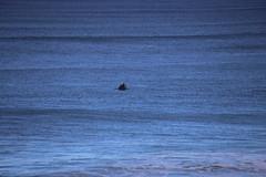 IMG_3658 (gervo1865_2 - LJ Gervasoni) Tags: surfing with whales lady bay warrnambool victoria 2017 ocean sea water waves coast coastal marine wildlife sealife blue photographerljgervasoni