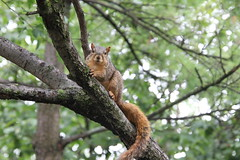 Squirrels in Ann Arbor at the University of Michigan on September 6th, 2018 (cseeman) Tags: gobluesquirrels squirrels annarbor michigan animal campus universityofmichigan umsquirrels09062018 summer eating peanut septemberumsquirrel foxsquirrels easternfoxsquirrels michiganfoxsquirrels universityofmichiganfoxsquirrels