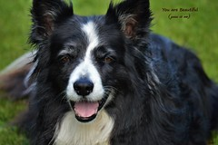 You Are Beautiful (pass it on) (ASHA THE BORDER COLLiE) Tags: beautiful border collie quote smile ashathestarofcountydown connie kells county down photography