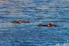 Hippopotamus (about-nature) Tags: afrika krugernationalpark limpopo südafrika za africa southafrica hippo flusspferd nilpferd vulnerable animal tier bedroht säugetier mammal hippopotamidae hippopotamus mammalia hippopotamusamphibius commonhippopotamus grosflusspferd canonphotography 500mm canon canonef500mmf40lisiiusm 7d canon7d lake see