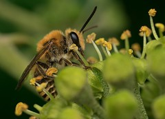 Ivy Bee (Colletes hederae) (Chambers35th) Tags: bee bees beautiful flower pollen macro macrophotography macrodreams macros makro mining summer closeup outdoors uk animals animal animalphotography insects insect invertebrates invertebrate invert nikon wildlife sigma wildlifephotography