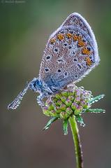 Swarovski drops (Michele Remonti) Tags: jewelry drops swarovski lycaenidae butterfly farfalla licenide macro pentax