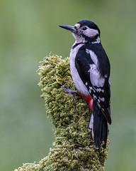 Great Spotted Woodpecker (Bill Richmond) Tags: greatspottedwoodpecker dendrocoposmajor woodpeckers picidae nikon500f4 nikond810