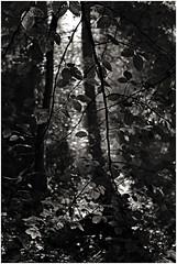 hoegne 8 (beauty of all things) Tags: belgien belgium hohesvenn sart hoëgne light licht intothelight leaves blätter bw sw