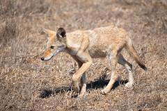 Pup on a Stroll (lennycarl08) Tags: animalplanet animals wildlife coyote