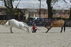 2018.06.21.115 HARAS du PIN - Toma et Krone lusitanien isabelle et Atao de race espagnole de la Cie Atao (alainmichot93 (Bonjour à tous - Hello everyone)) Tags: 2018 france frankreich francia frankrijk frança γαλλία франция normandie orne pinauharas harasdupin haras animal mammifère équidé cheval horse pferd caballo cavallo cavalo paard άλογο лошадь raceespagnole lusitanienisabelle