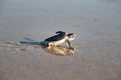 Determination - Green Sea Turtle Hatchling (dubrick321) Tags: hatchling greenseaturtle greenseaturtlehatchling reptiles seaturtle cheloniamydas archiecarrnationalwildliferefuge florida floridawildlife