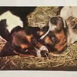 Собаки на сене. Изд Чехословакия 1984 г. Чистая. Цена 35 р. #открытка #чехословакия #1984 #собаки #животные #postcard #retrocards #dogs thumbnail