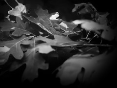 Leaves (RandallMcRoberts) Tags: artphotography bw blackandwhite fineartphotography foliage leaves macro monochrome