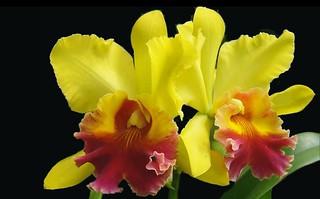 Orquidea...Flor48P