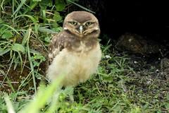 pqtrote_0032cr (João Batista**) Tags: coruja pássaro natureza owl bird nature
