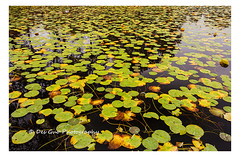 Colors of Fall (PhotoDG) Tags: colorsoffall color waterlily water plant fall season foliage leaf polarizer ef1635mmf28liiusm deerlake