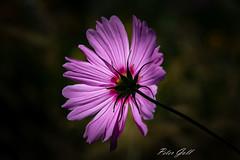 Blume aus dem Kräutergarten in Schlitters (Peter Goll thx for +8.000.000 views) Tags: schlitters tirol österreich at macro makro blumer flower nikon nikkor d850 d850nikon zillertal kräutergarten