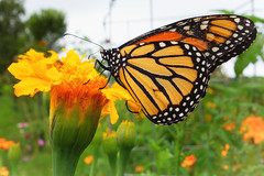 Monarch butterfly (lilredlizzie) Tags: towerhillbotanicgarden butterfly monarch flower beautiful beauty pretty outside outdoors travel sonyrx100 sony nature naturelovers amazing artgrowninnature color colors massachusetts newengland