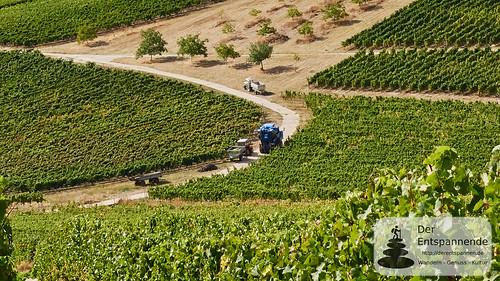 Weinlese in den Weinbergen