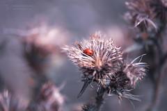 Isa Lady (Thomas TRENZ) Tags: arctium kletten käfer ladybug marienkäfer nikon pink tamron thomastrenz bug hide iamnikon macro makro natur nautre nikonaustria point punk red rot verstecken withmytamron