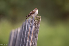 Chipping Sparrow (Nikki Nobles) Tags: sparrows chippingsparrow