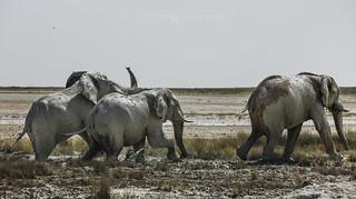 Elephants bull going out from having a mud bath. Etosha, Namibia.