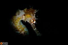 _B5A6754_seah yellow_sharpen copia (azotati2011) Tags: blacksand indonesia kalinaunresort pronimarunderwaterhousing canon7dmii macro
